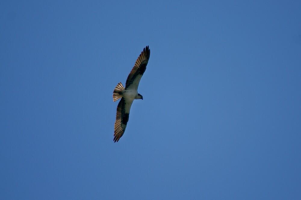 Hawk by Mazelene