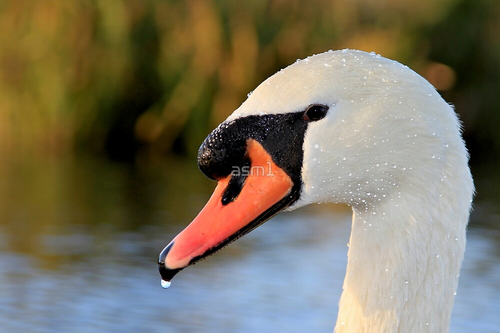 Mute Swan (and riverbank) by asm1