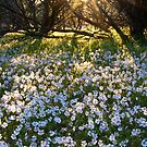 """Velleia rosea"" Karara Station, Western Australia by wildimagenation"