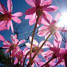 """Schoenia cassiniana"" Coalseam National Park, Western Australia by wildimagenation"