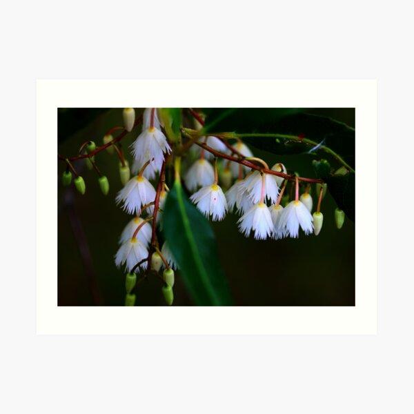 Elaeocarpus reticulatus  Art Print