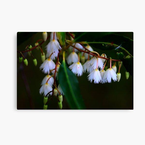 Elaeocarpus reticulatus  Canvas Print