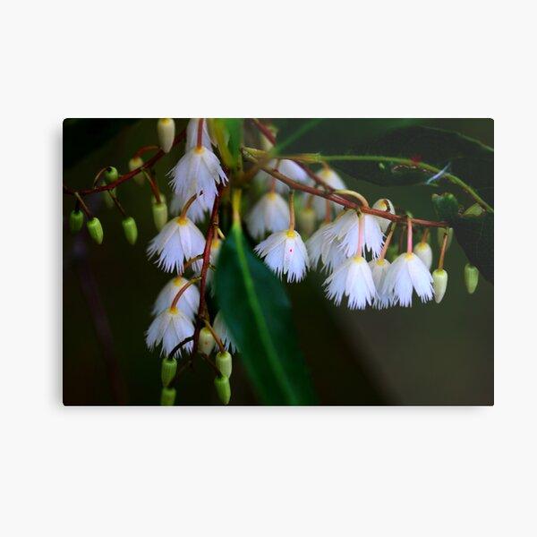 Elaeocarpus reticulatus  Metal Print