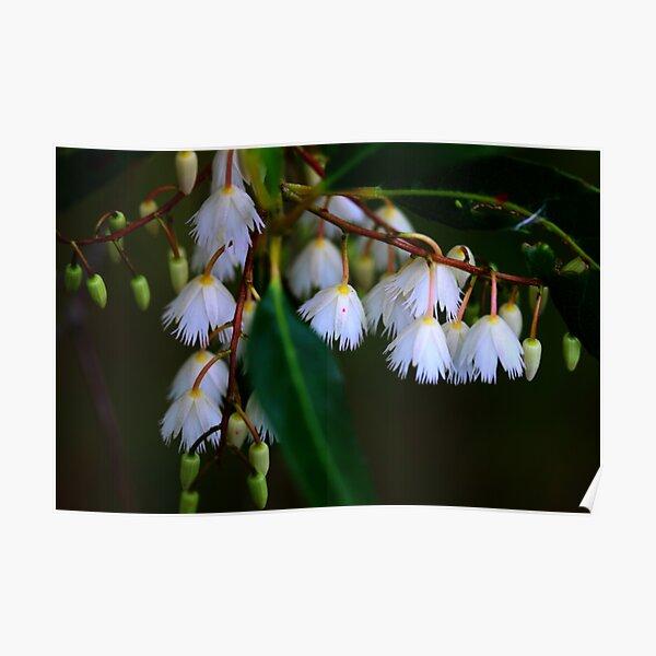 Elaeocarpus reticulatus  Poster
