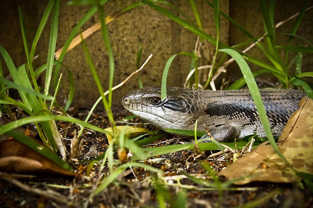 Blue tongue lizard - 2 by Jenda Mudron