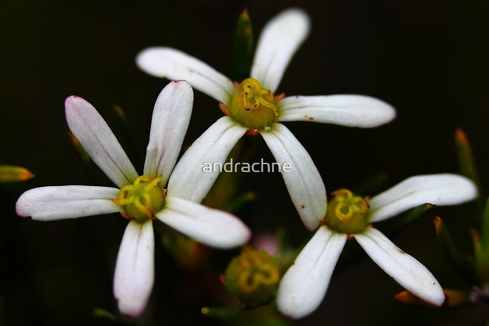 Ricinocarpos pinifolius by andrachne