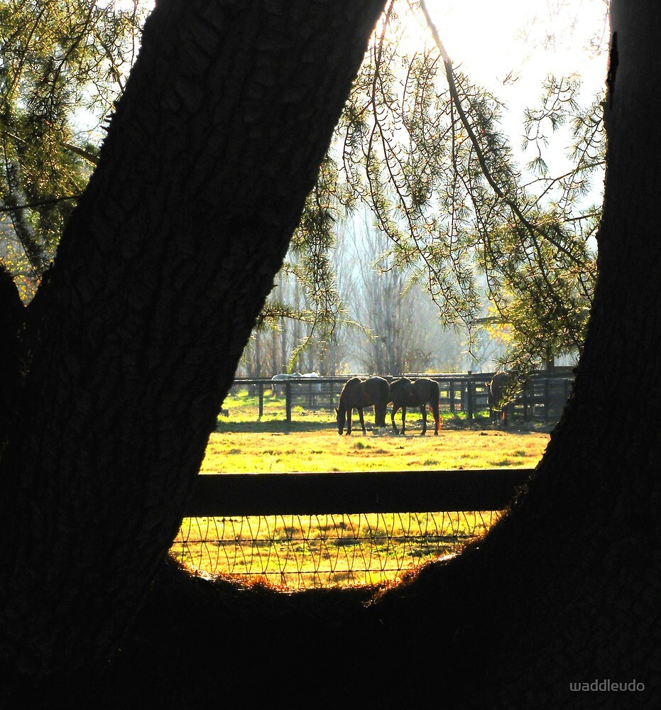 """"""" Grazing Horses Framed by Old Pine """" by waddleudo"""