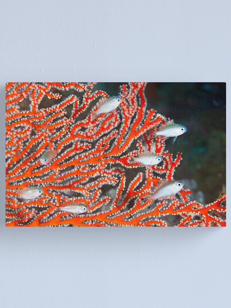 Alternate view of Damselfish in sea fan Canvas Print