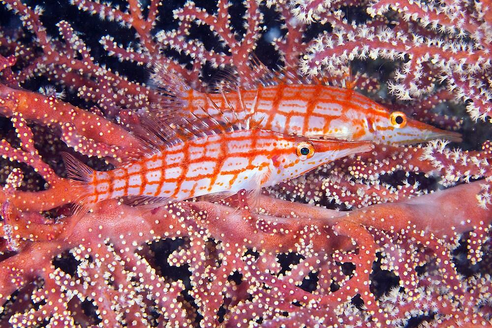 Longnose hawkfish by David Wachenfeld