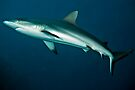 Grey reef shark by David Wachenfeld