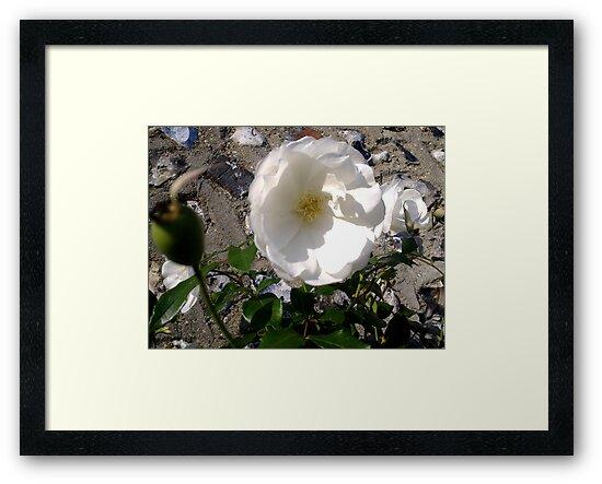 White Rose on Wall by Shoshonan