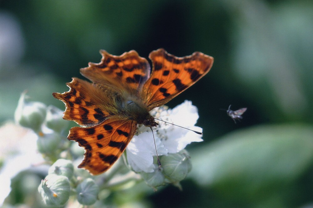 Comma butterfly resting on bramble flowers. by Anthony Lee