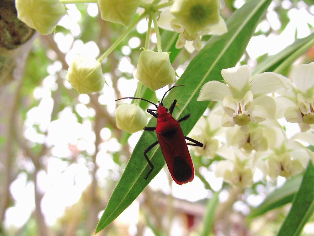 Cotton Stainers / Milkweed Bug by MiloAddict