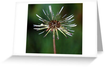 Dandelion in the rain by Fiona Gardner