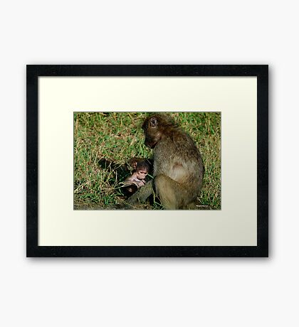 YOU TICKLE MY EAR, I TICKLE YOUR LEG! - THE CHACHMA BABOON - Papio ursinus Framed Print