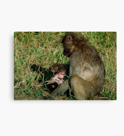 YOU TICKLE MY EAR, I TICKLE YOUR LEG! - THE CHACHMA BABOON - Papio ursinus Canvas Print