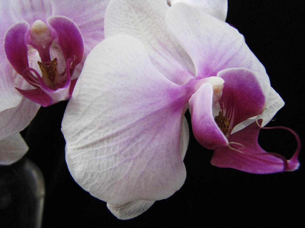An Orchid View by Mistyarts