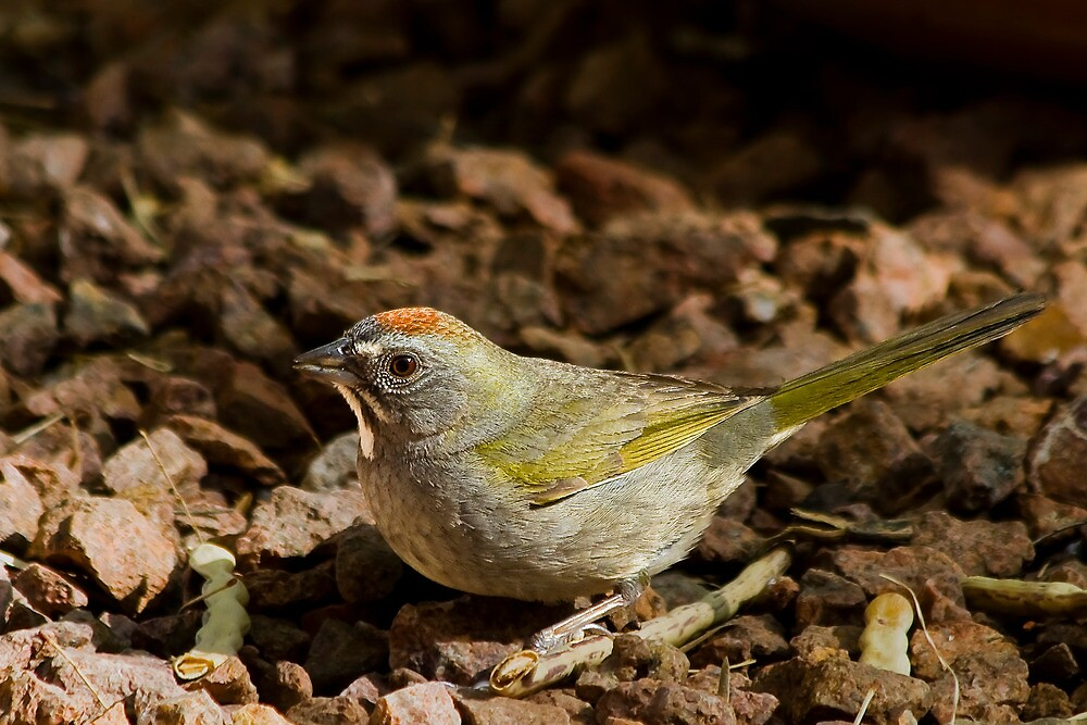 Green-tailed Towhee by Ray Chiarello