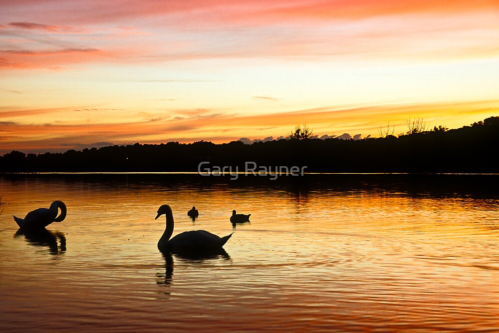 Bathing Swan silhouettes by Gary Rayner