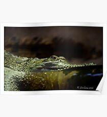 Crocodylus johnstoni Poster