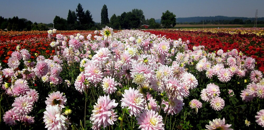 field of dahlias 2 by Patricia  Butler