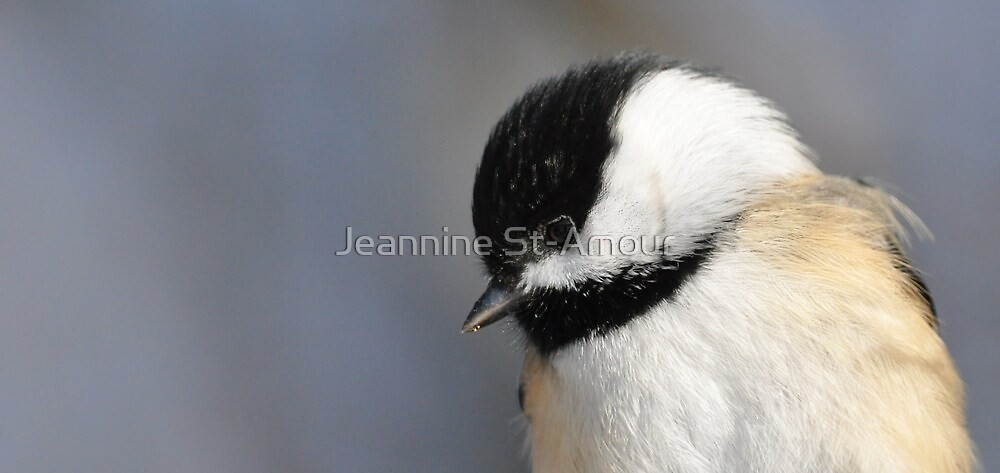 Portrait of a Black Capped Chickadee! by Jeannine St-Amour