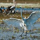 Great Egret at Knuckey Lagoon by Keith McGuinness