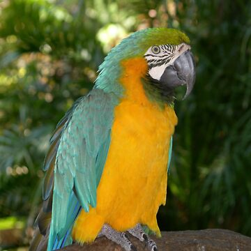 Blue Amazon Macaw by AStevensAdmin