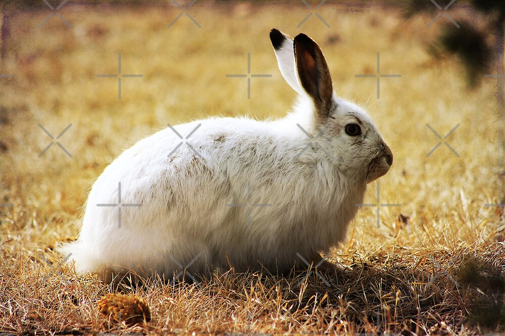 Snowshoe Hare by Alyce Taylor