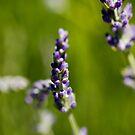 French Lavender, Adelaide Botanic Gardens by Elana Bailey