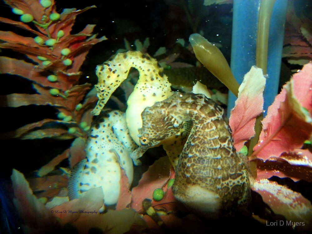 Seahorse by Lori D Myers
