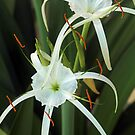 Spider Lilly opens up by Paul  Donaldson