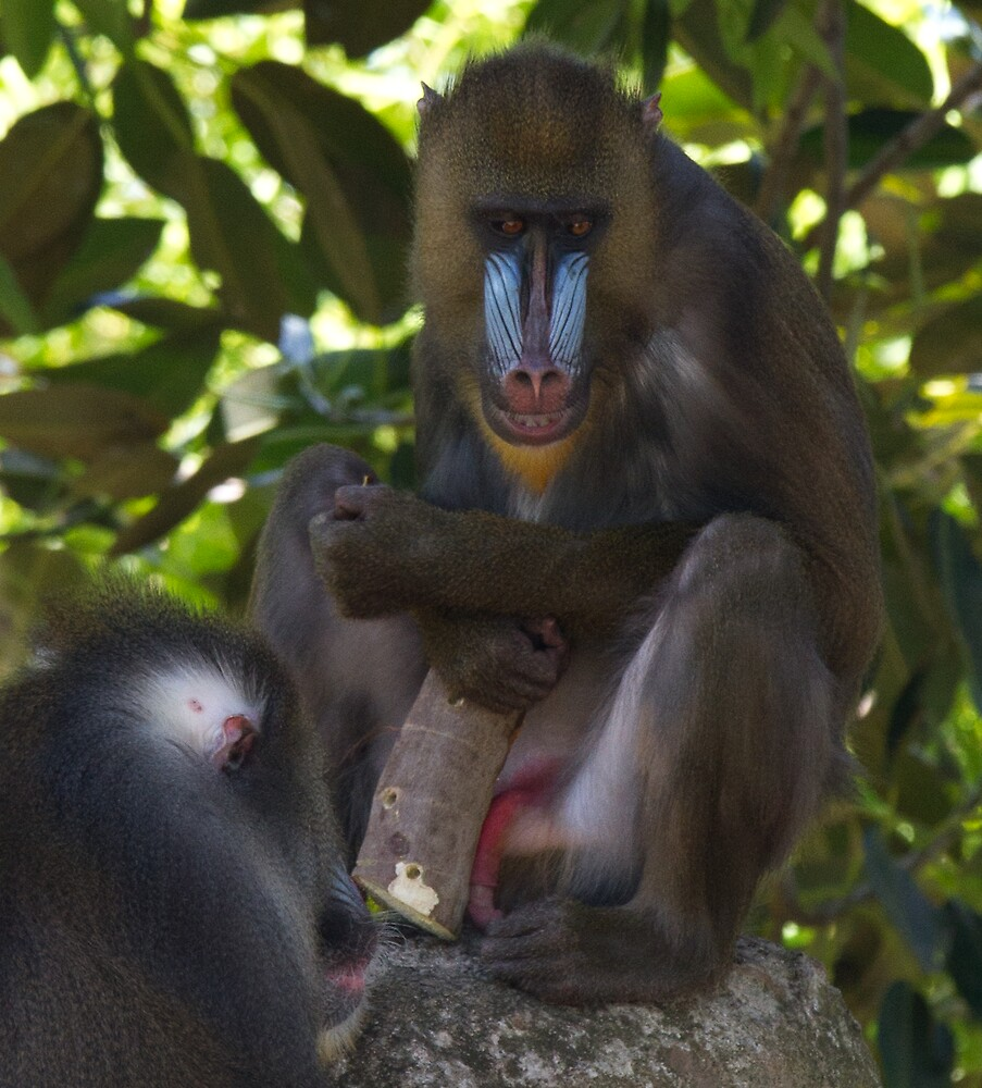Baboon by Jules Cardinale