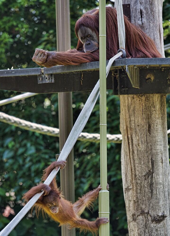 Baby Orangutan Practice by Jules Cardinale
