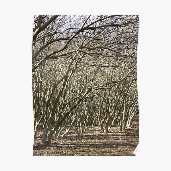 Crepe Myrtle Forest - Wintertime Poster