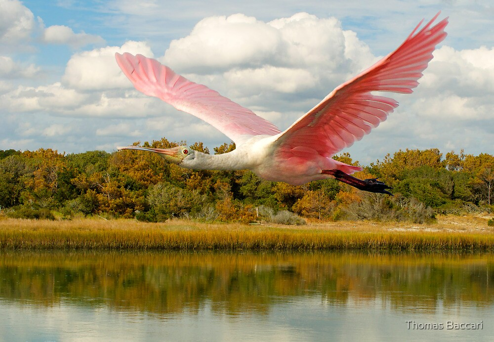 Spoonbill at Pawleys Island by TJ Baccari Photography