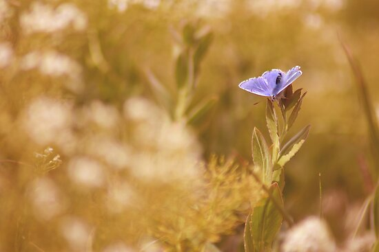 Male Common Blue Butterfly (Polyommatus icarus) by HollyRuthven
