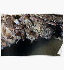 Long-fingered bats (Myotis capaccinii) Poster