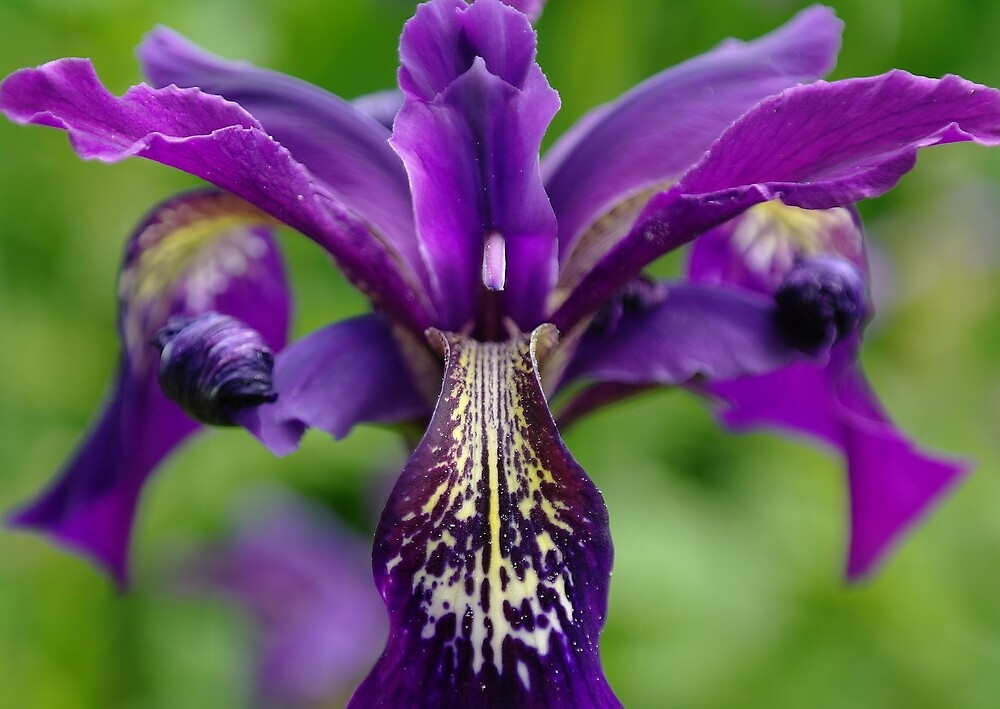 flag iris by georgeporteous