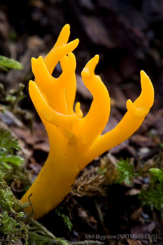 Yellow Stagshorn Fungi by Neil Bygrave (NATURELENS)