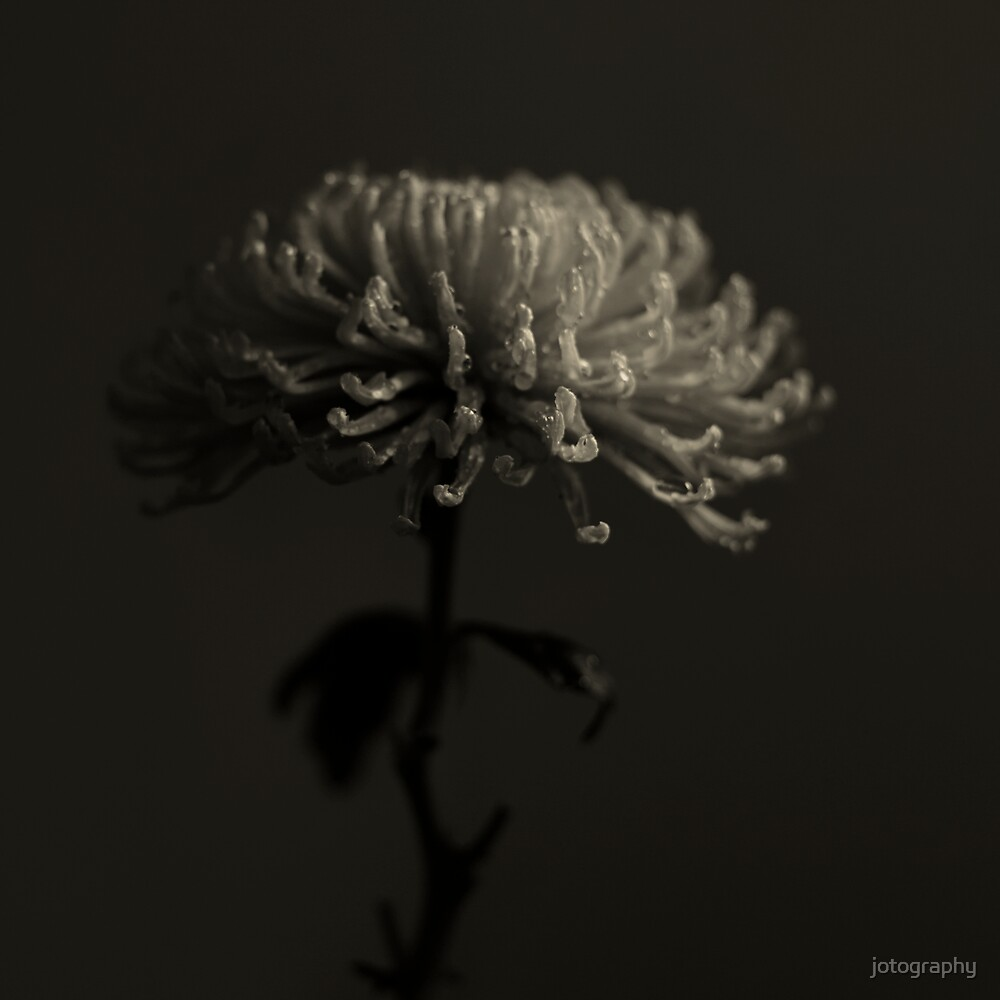 Chrysant by jotography