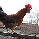 Rooster on Stockade by branko stanic