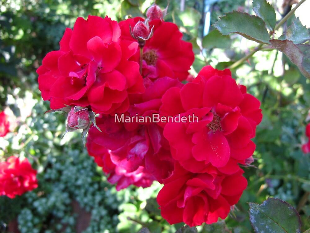 Rose cluster by MarianBendeth
