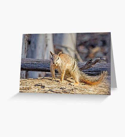Dryandra's Numbat  Greeting Card