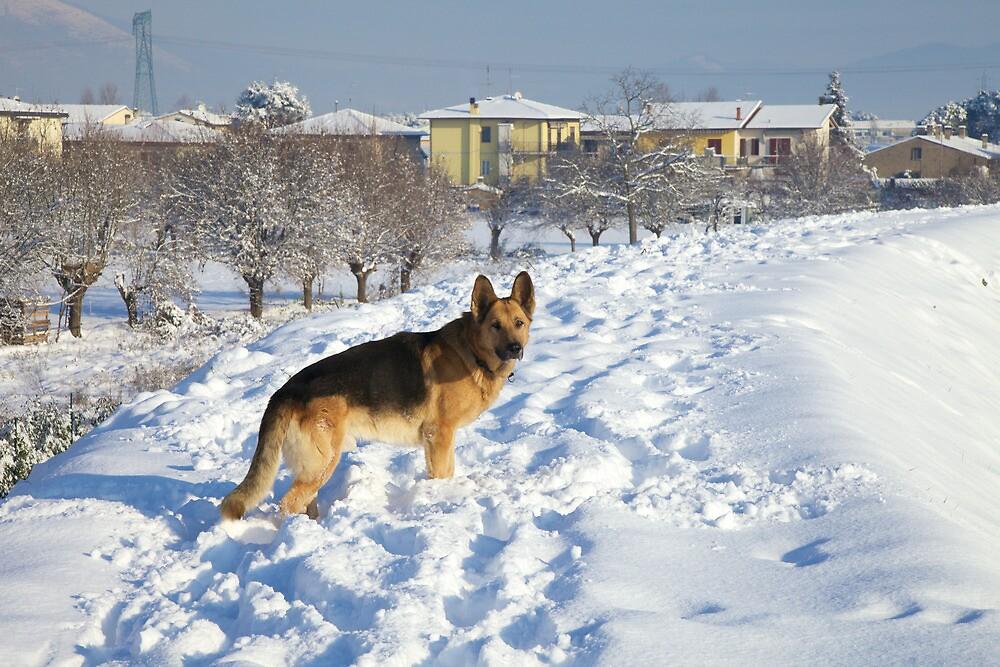 German Shepherd in Snow by catiapancani