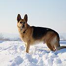 German Shepherd by catiapancani