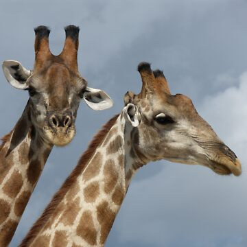 Giraffe Pair by AStevensAdmin