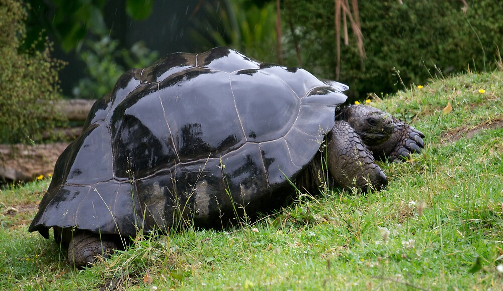 Galapagos Tortoise - Auckland Zoo by Sugars Photography