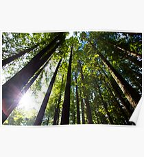 Light Streaming Through Redwoods Poster