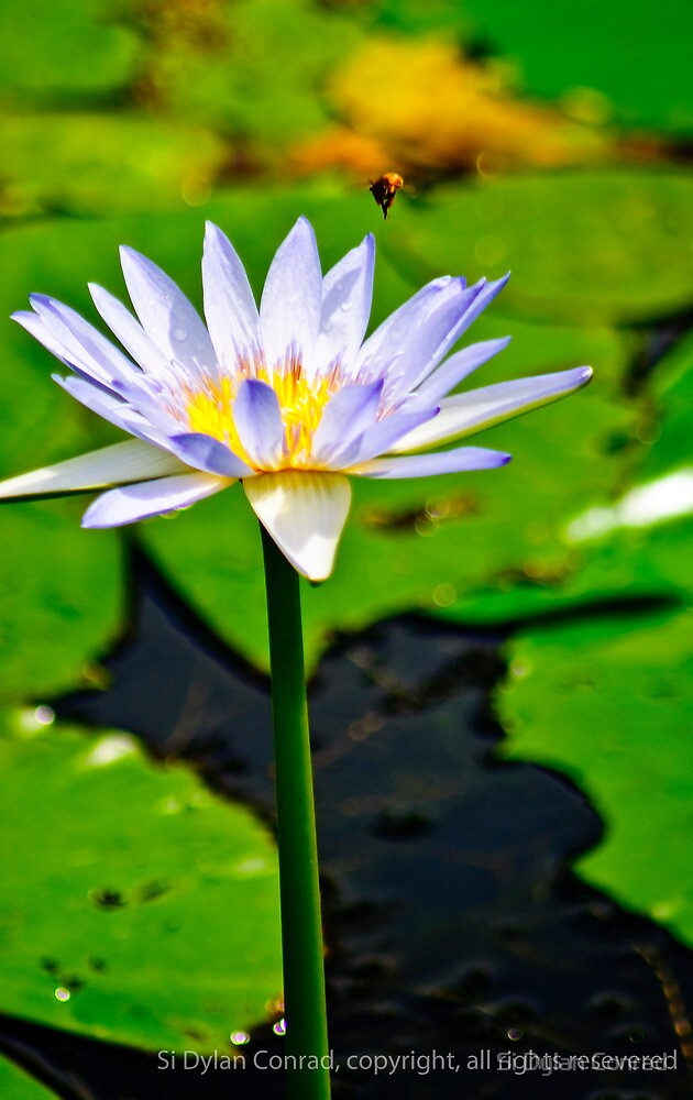 Water Flower  by Si Dylan Conrad